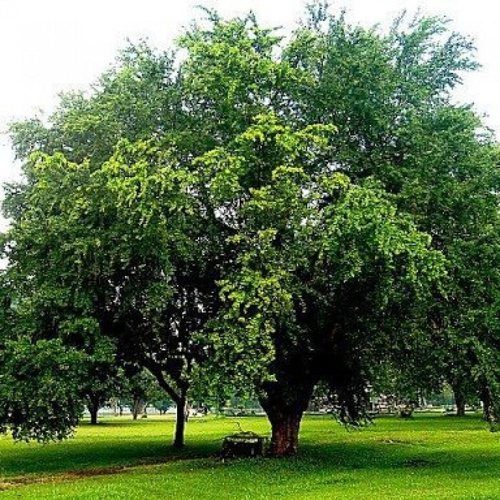شجرة اللوز الهندي