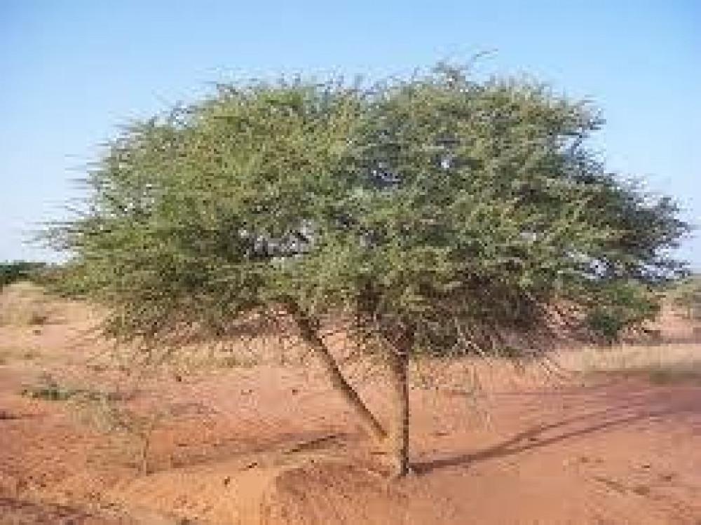 شجرة سلم