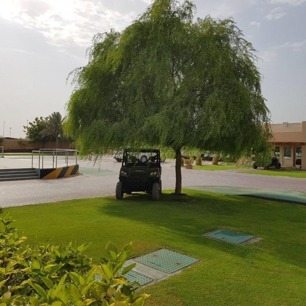 بذور الغاف الخليجي