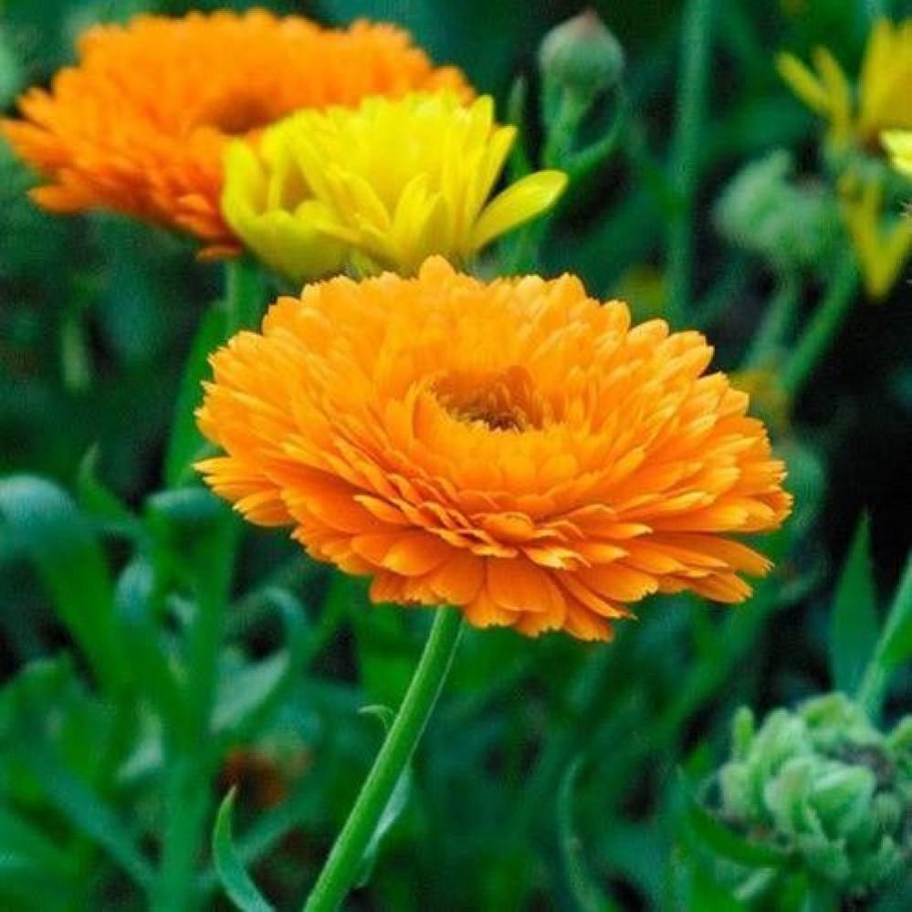 زهرة اذريون
