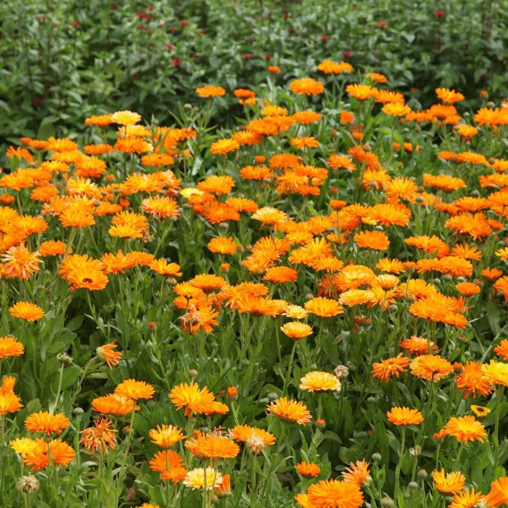 زهور اذريون