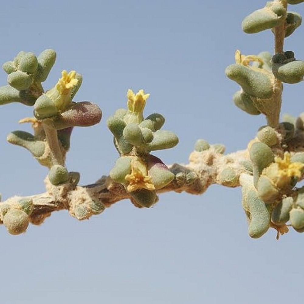 زهرة نبات الضمران