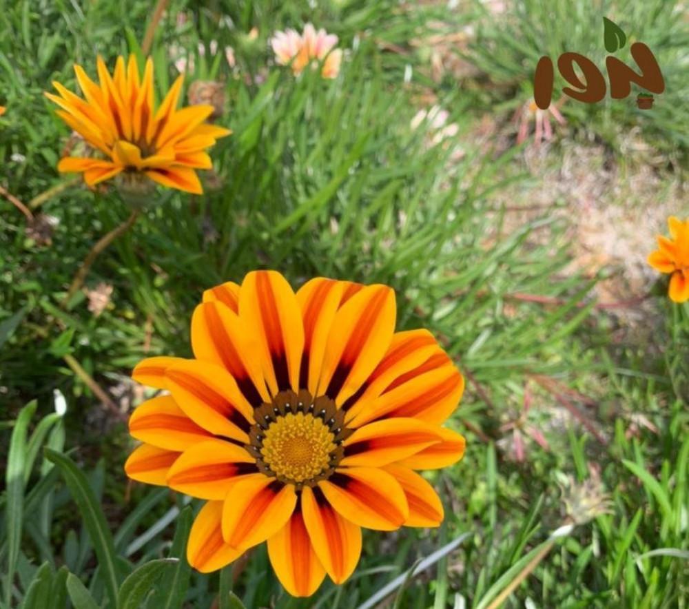 زهور الجازانيا