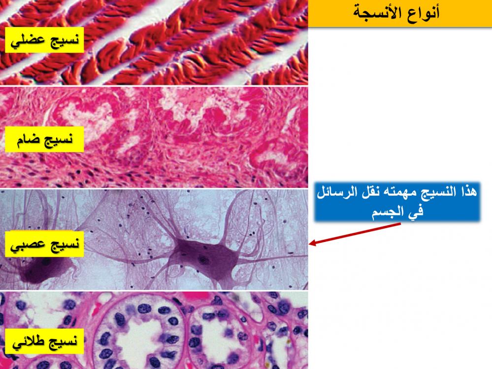 انواع الأنسجة