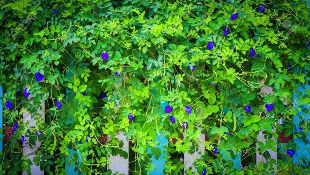 بذور الشاي الأزرق  المتسلقة - Clitoria Ternatea