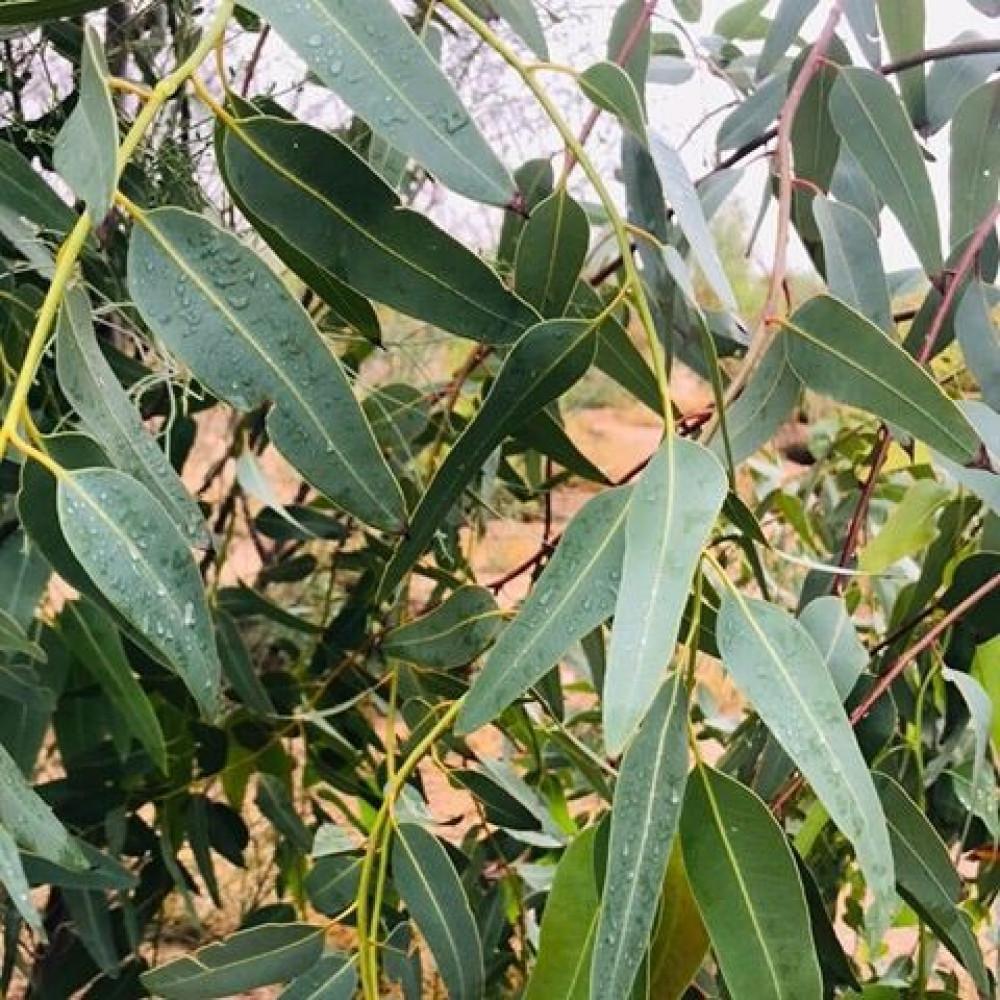 بذور شجرة  كينا  كينه  Eucalyptus