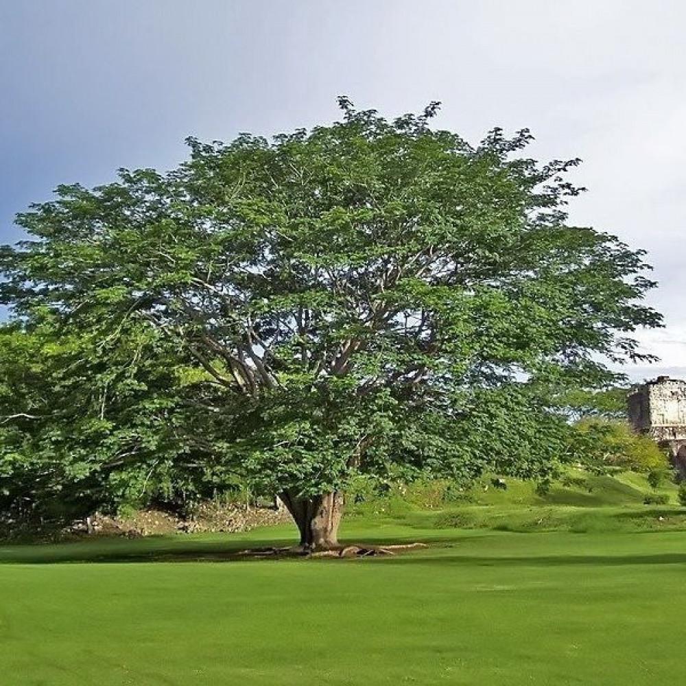 شجرة الكابوك