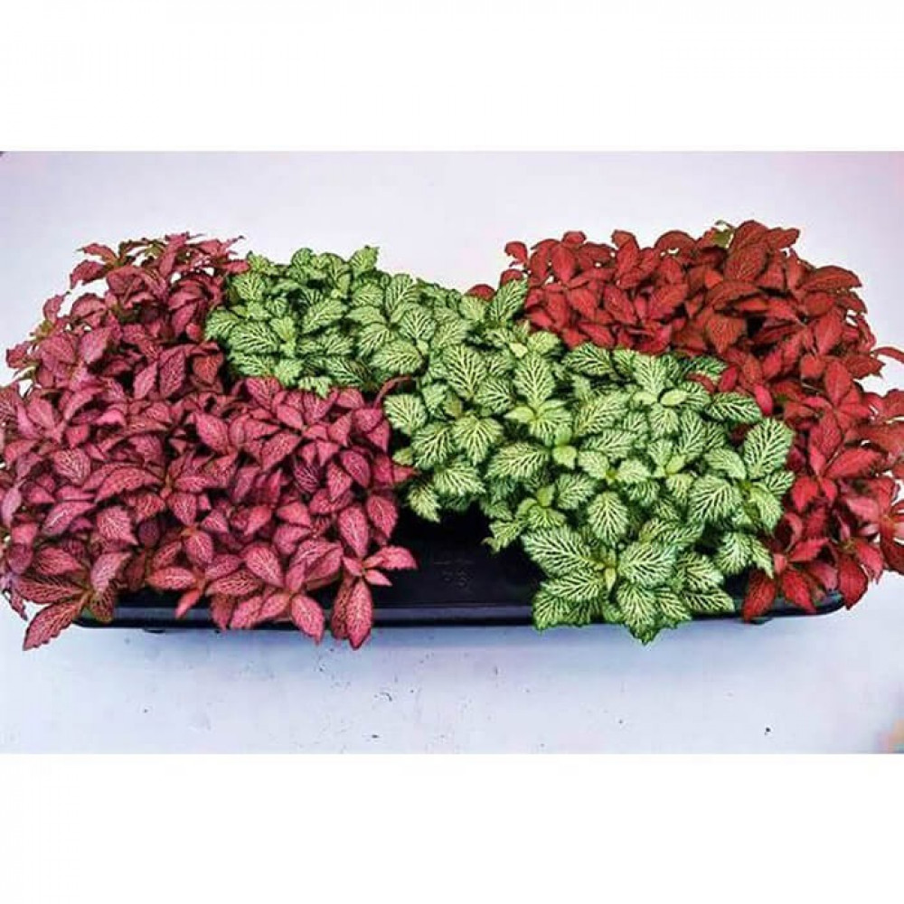 نباتات داخليه فيتونيا Fittonia