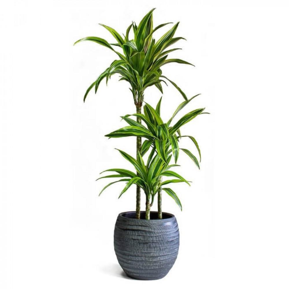 نباتات داخليه دراسينا ليمون لايم  Dracaena Lemon Lime