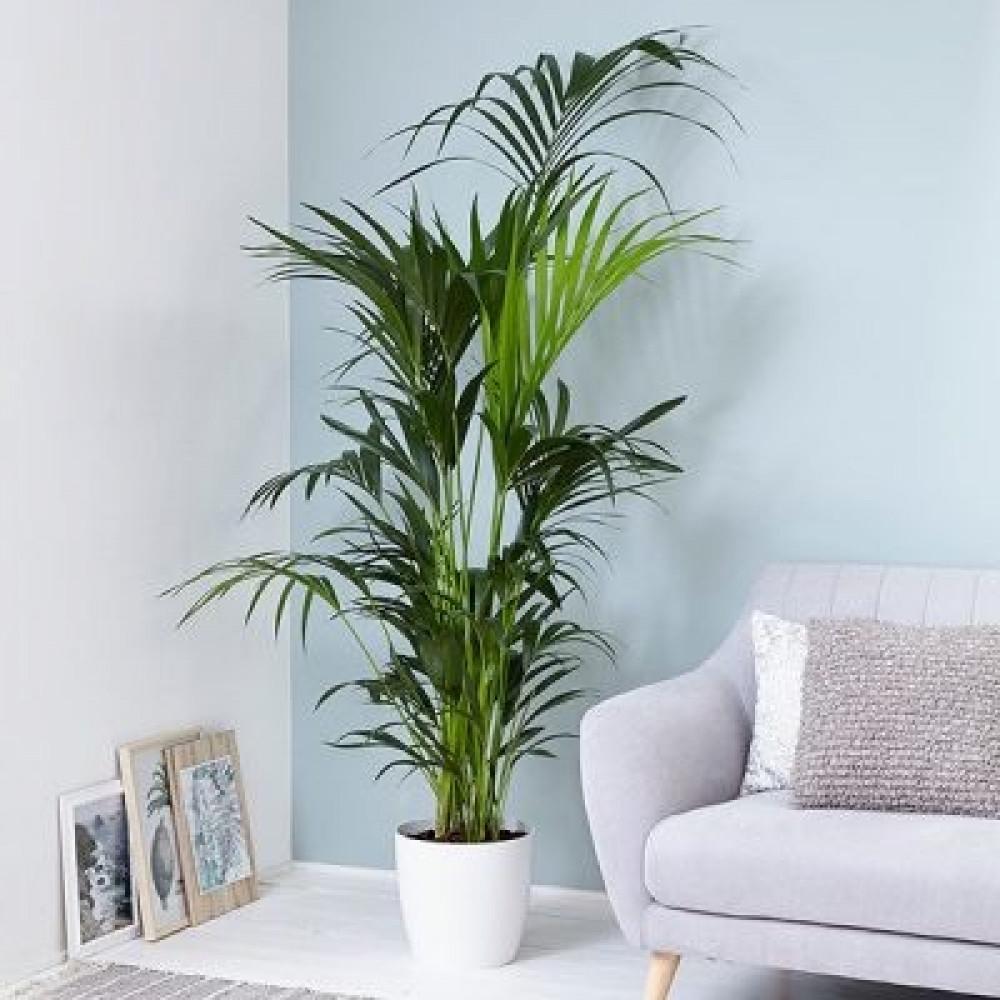 كنتيا  - Kentia palm