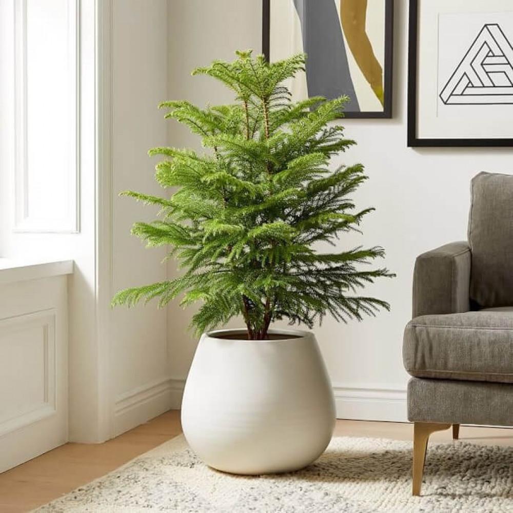 نباتات داخليه اروكاريا  Araucaria Plant