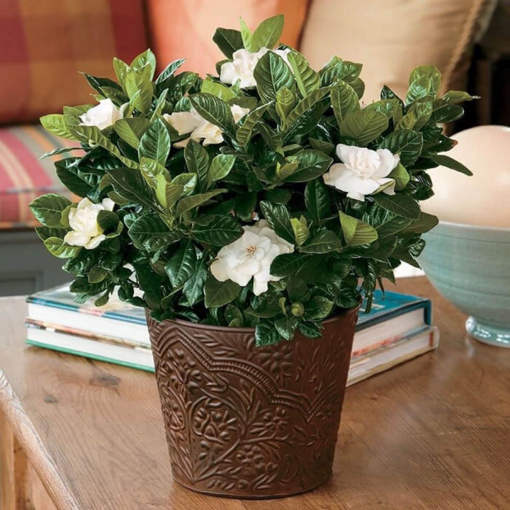 نباتات داخليه جاردينيا Gardenia Plants