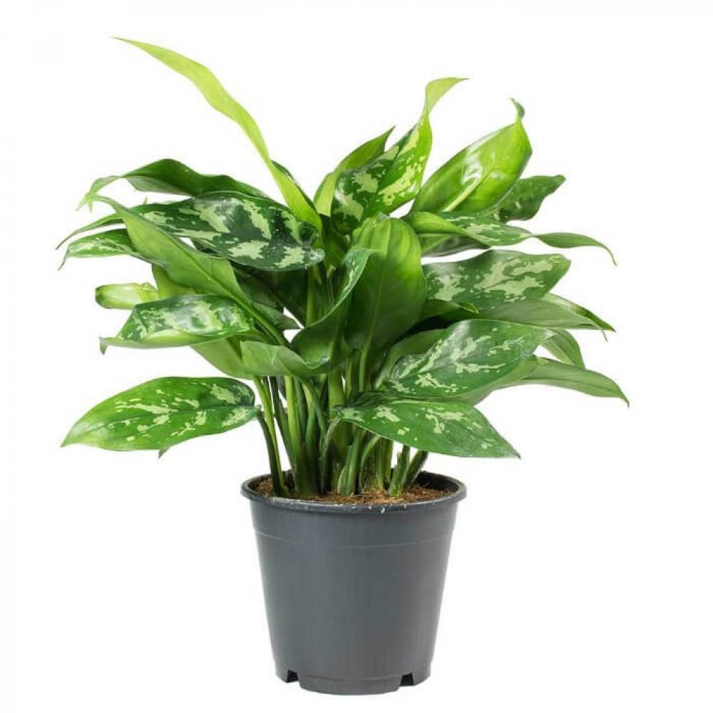 نباتات داخليه اجلونيما Aglaonema Maria