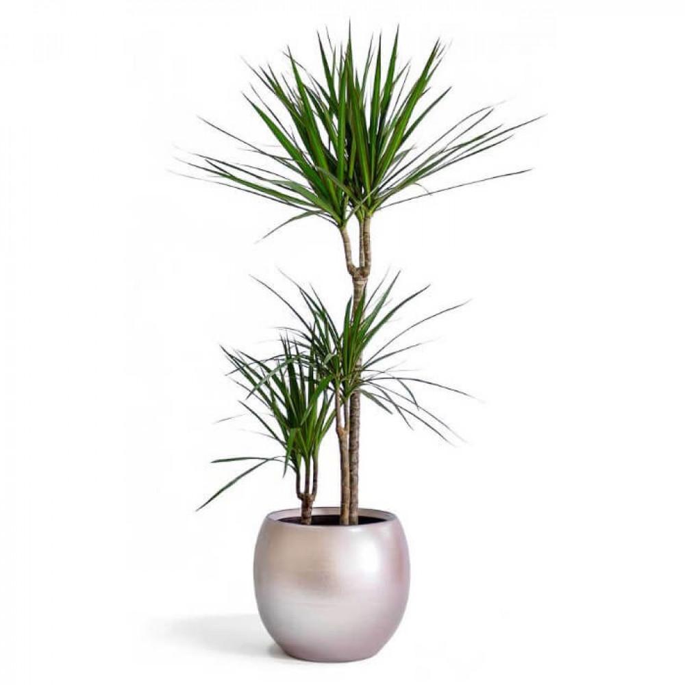 نباتات داخليه دراسينا مارجيناتا Dracaena Marginata