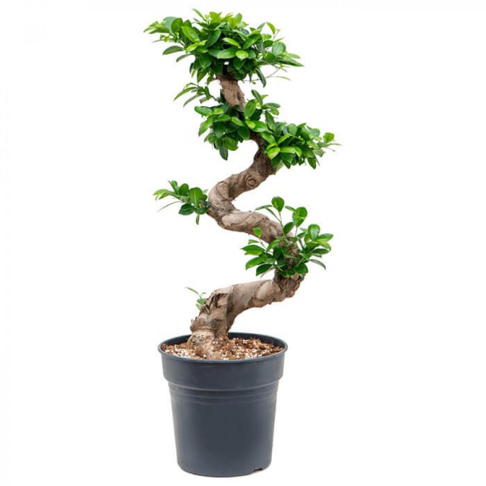 نباتات داخليه بونساي Ficus Bonsai Plant