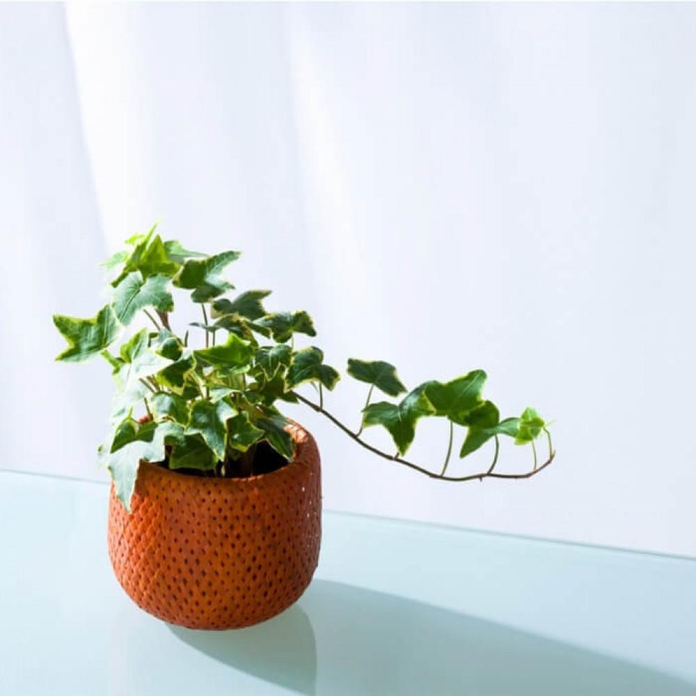 نباتات داخليه هيدرا Hedera Plant