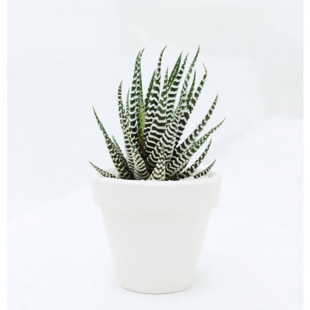نباتات داخليه صبار هاورثيا  Haworthia