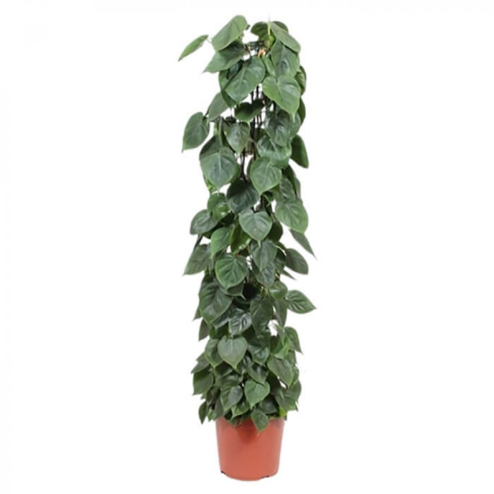 نباتات داخليه كرمة المحبوب Philodendron Scandens