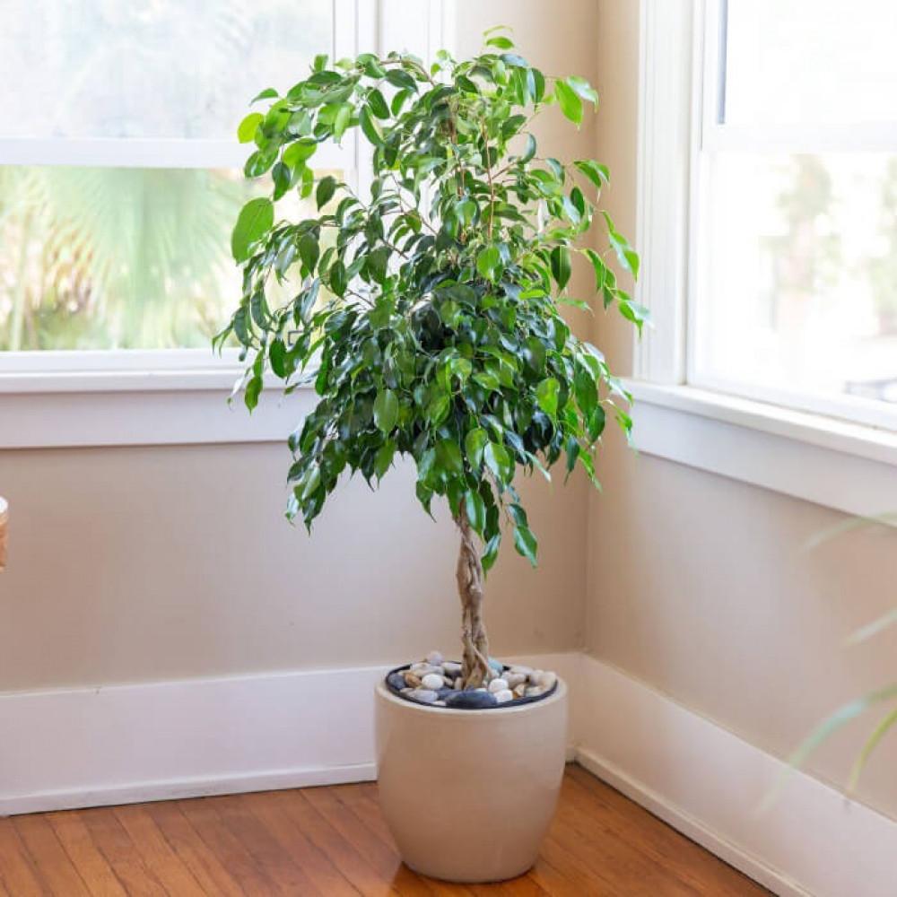 نباتات داخليه فيكس بينجامينا Ficus Benjamina