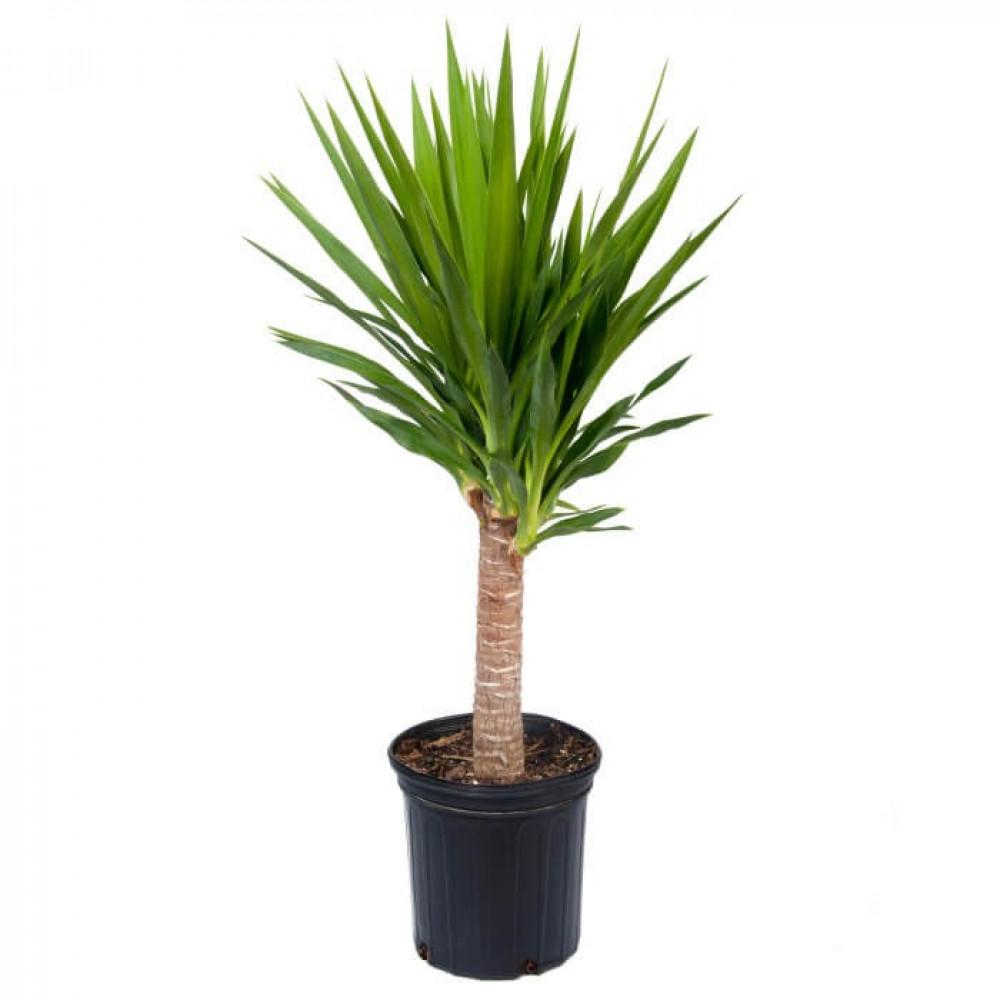 نباتات داخليه يوكا صغيره Yucca small plant