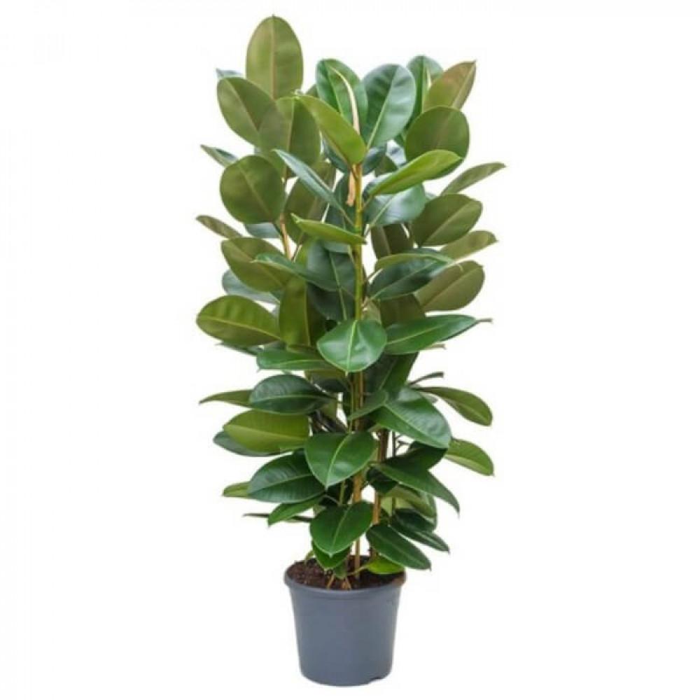 نباتات داخليه تين المطاط  Ficus Elastica Robusta