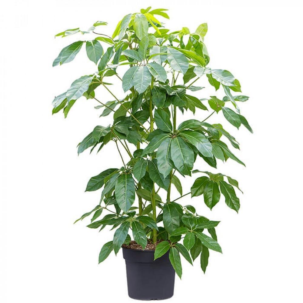 نباتات داخليه شفليرا عريضه الاوراق Schefflera actinophy plant
