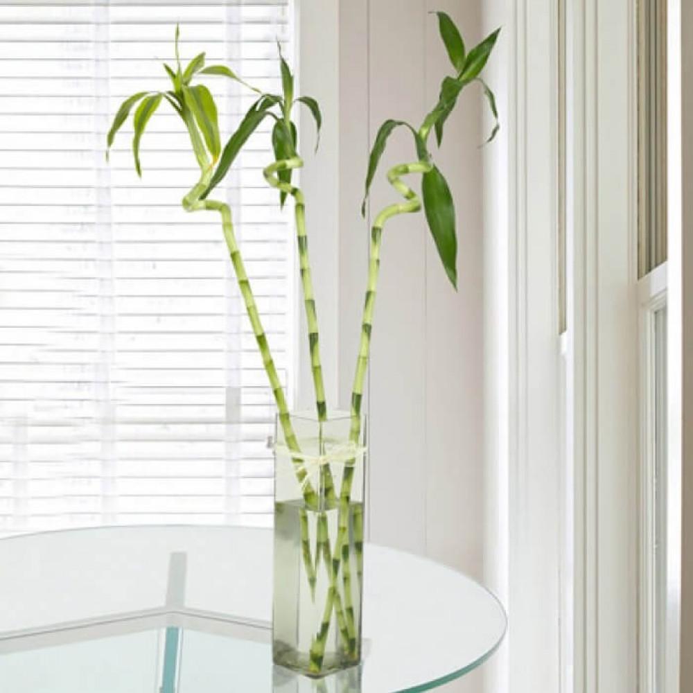 نباتات داخلية بامبو أعواد  Lucky Bamboo Sticks