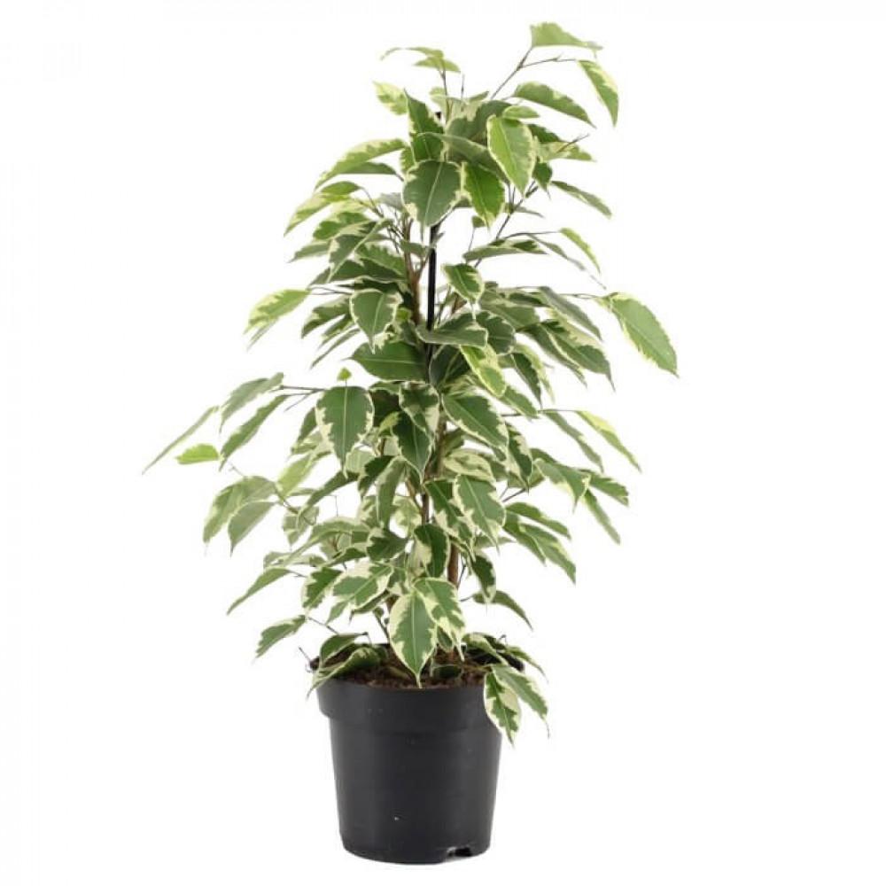 نباتات داخليه فيكس مبرقش  Ficus Starlight Plant