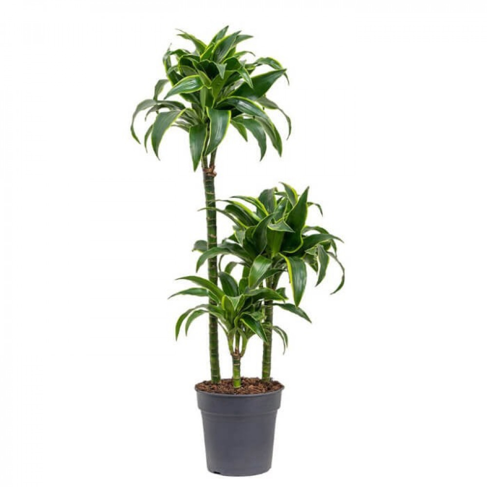 نباتات داخليه دراسينا دورادو Dracaena Dorado