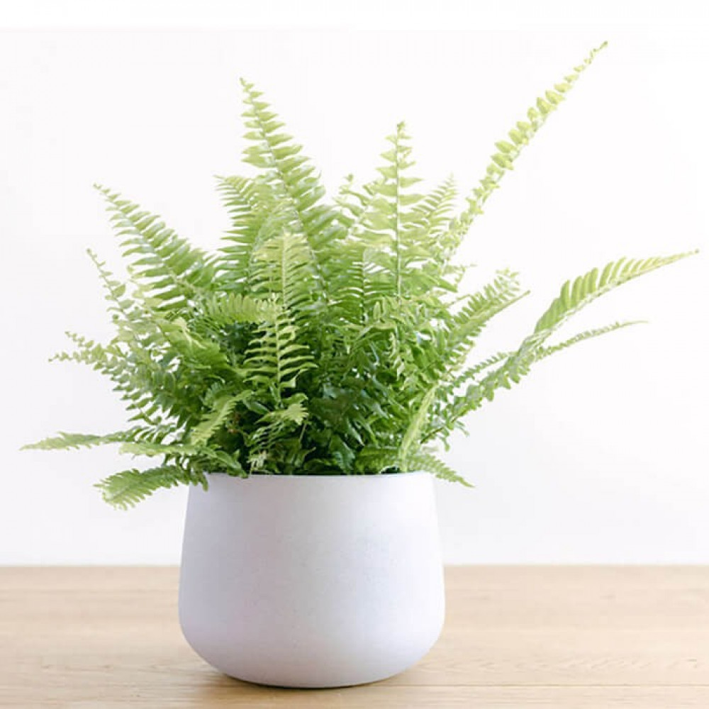 نباتات داخليه السرخس  Nephrolpis Plant