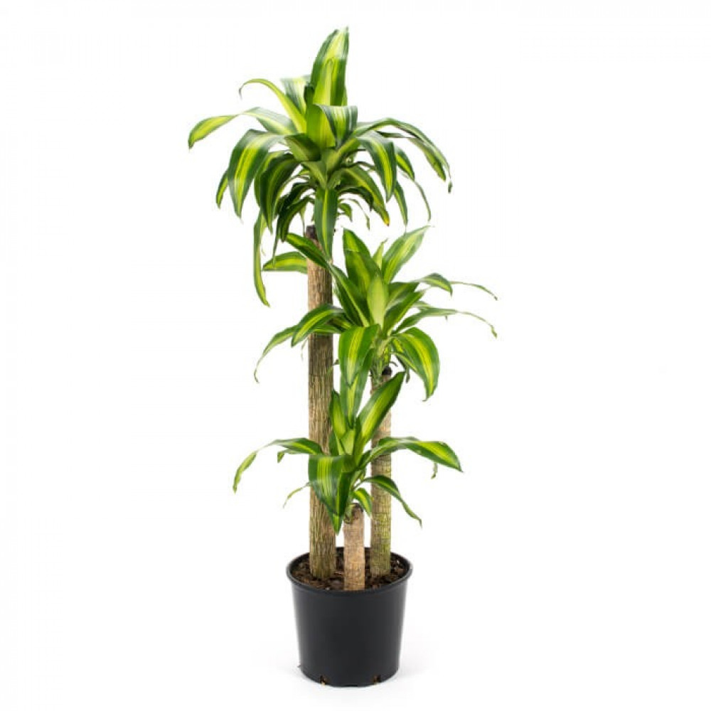 نباتات داخليه دراسينا ماسنجانا Dracaena Massangeana
