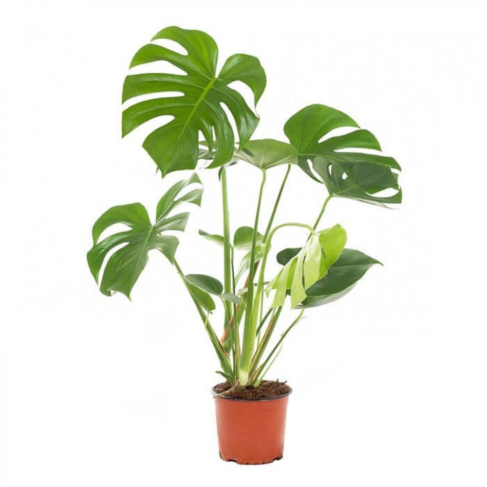 نباتات داخليه مونستيرا  Monstera Plant