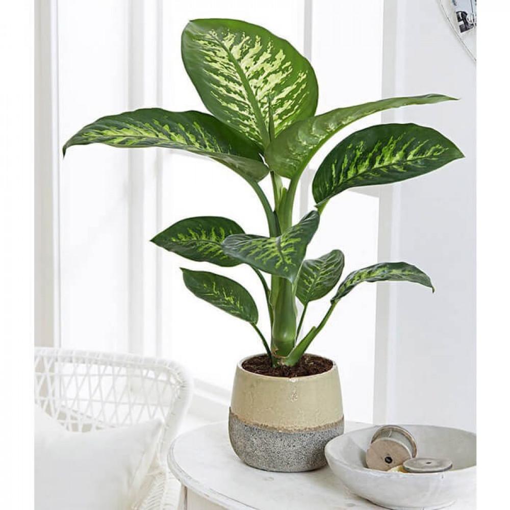 نباتات داخليه دفنباخيا تروبك Diffenbachia Tropic