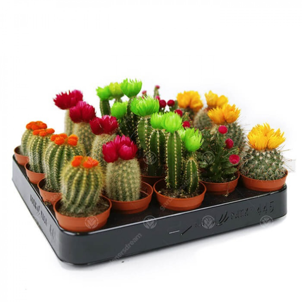 صبار زينه Cactus