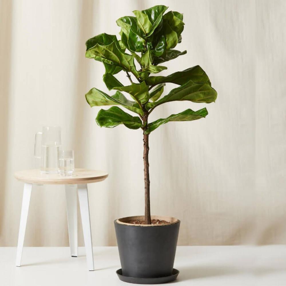 نباتات داخليه فيكس ليراتا Ficus Lyrata Plant