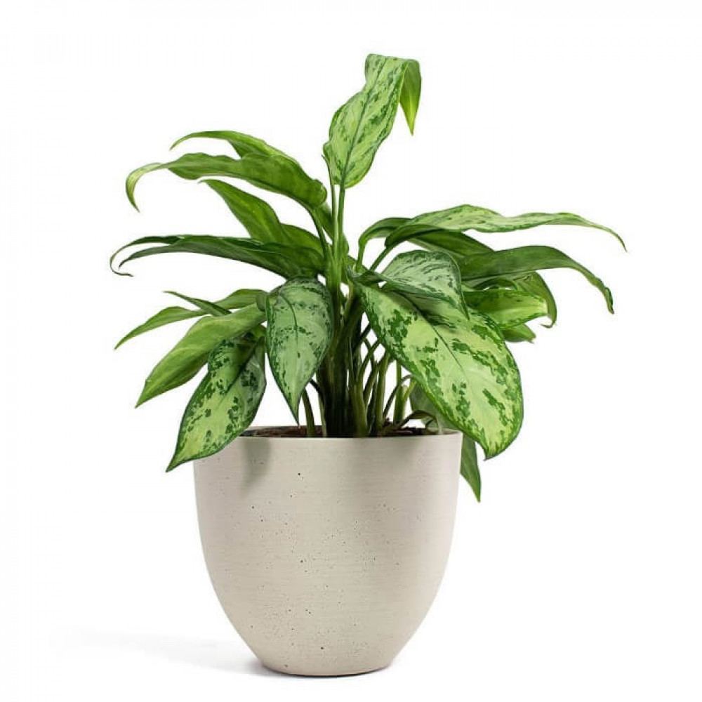 نباتات داخليه اجلونيما Aglaonema Silver