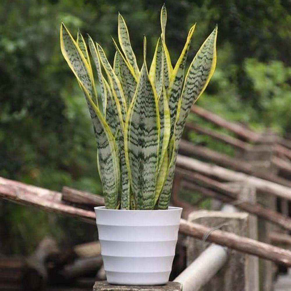 نباتات داخليه سانسيفيريا  Sansevieria