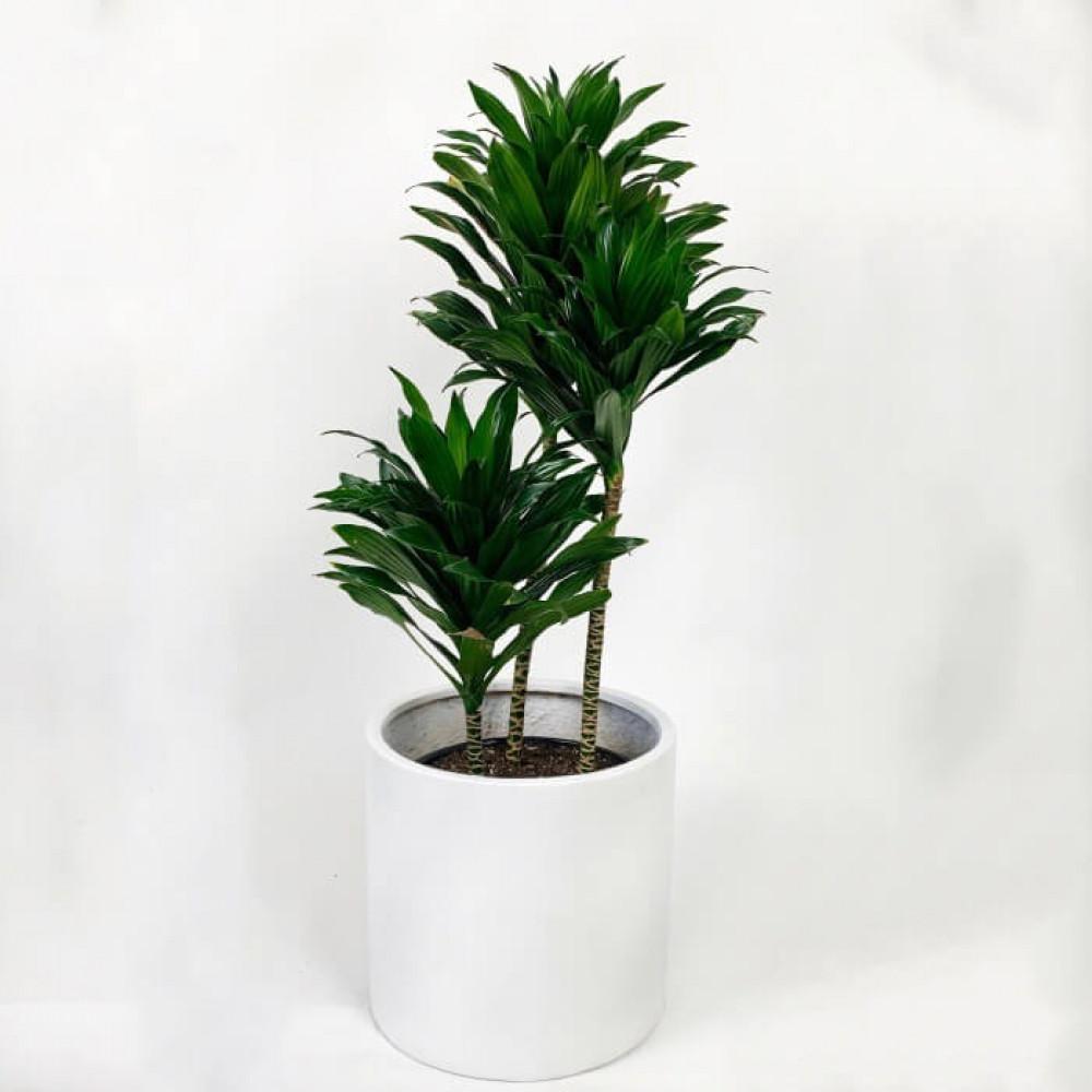 نباتات داخليه دراسينا جانيت كومباكتا Dracaena Janet Compacta