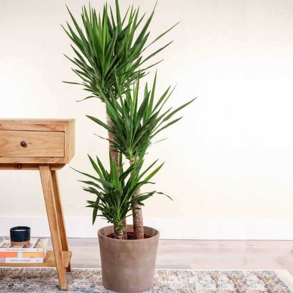 نباتات داخليه يوكا كبيره Yucca plant