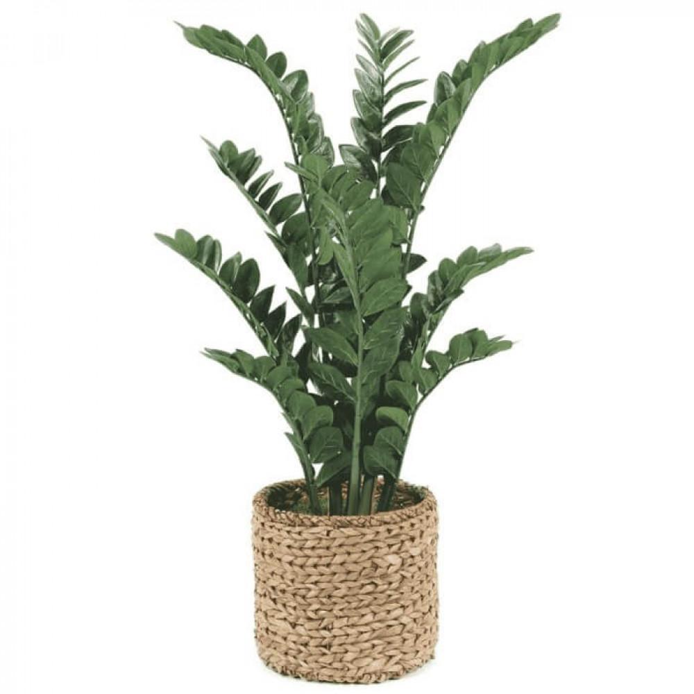 نباتات داخليه زاميا Zamia plant
