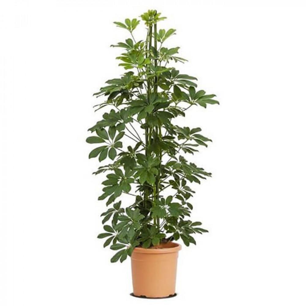 نباتات داخليه شفليرا خضراء Schefflera green plant