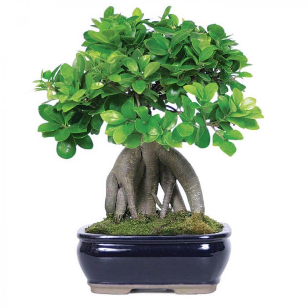 نباتات داخليه بونساي صغير Ficus Bonsai Plant