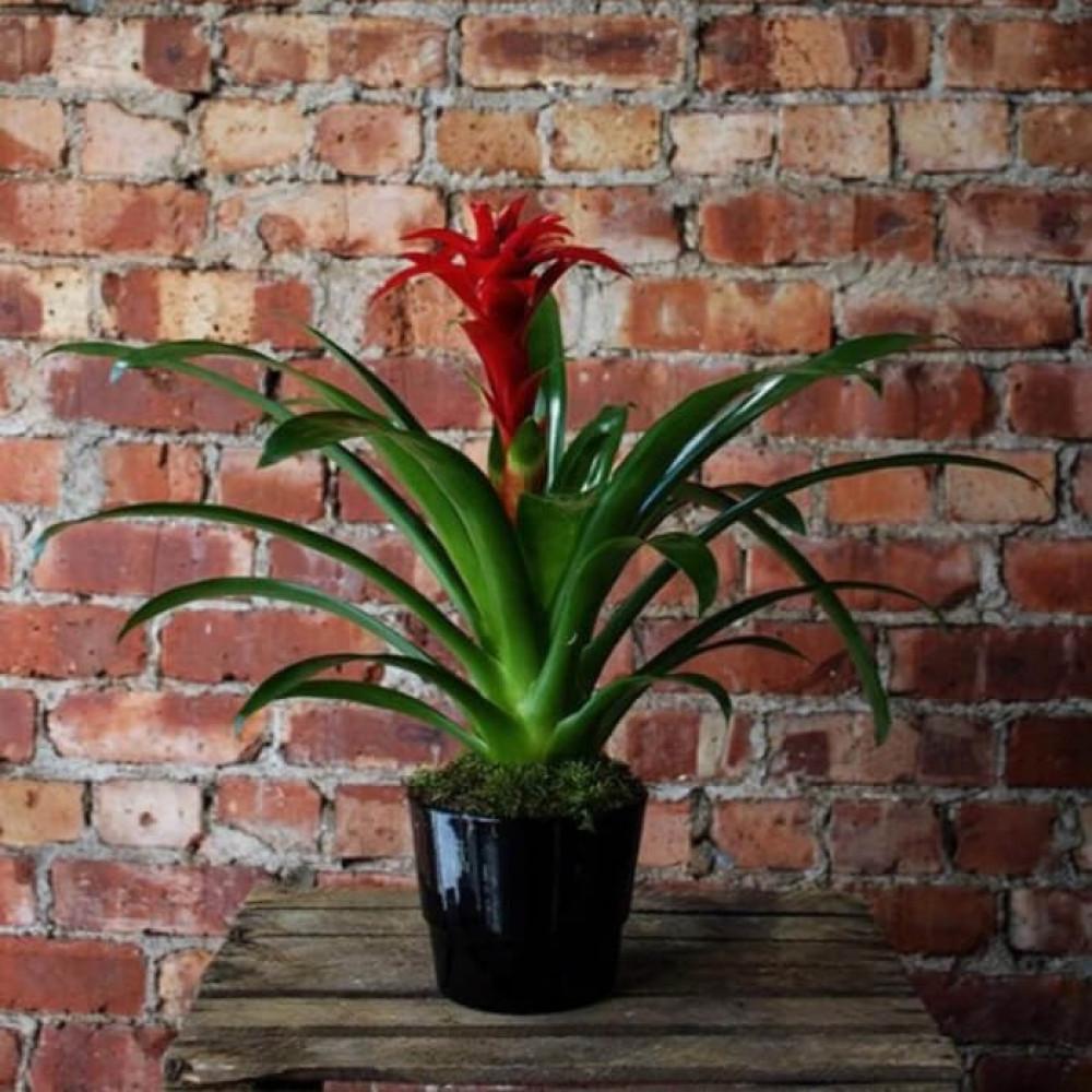 نباتات داخليه جزمانيا Guzmania