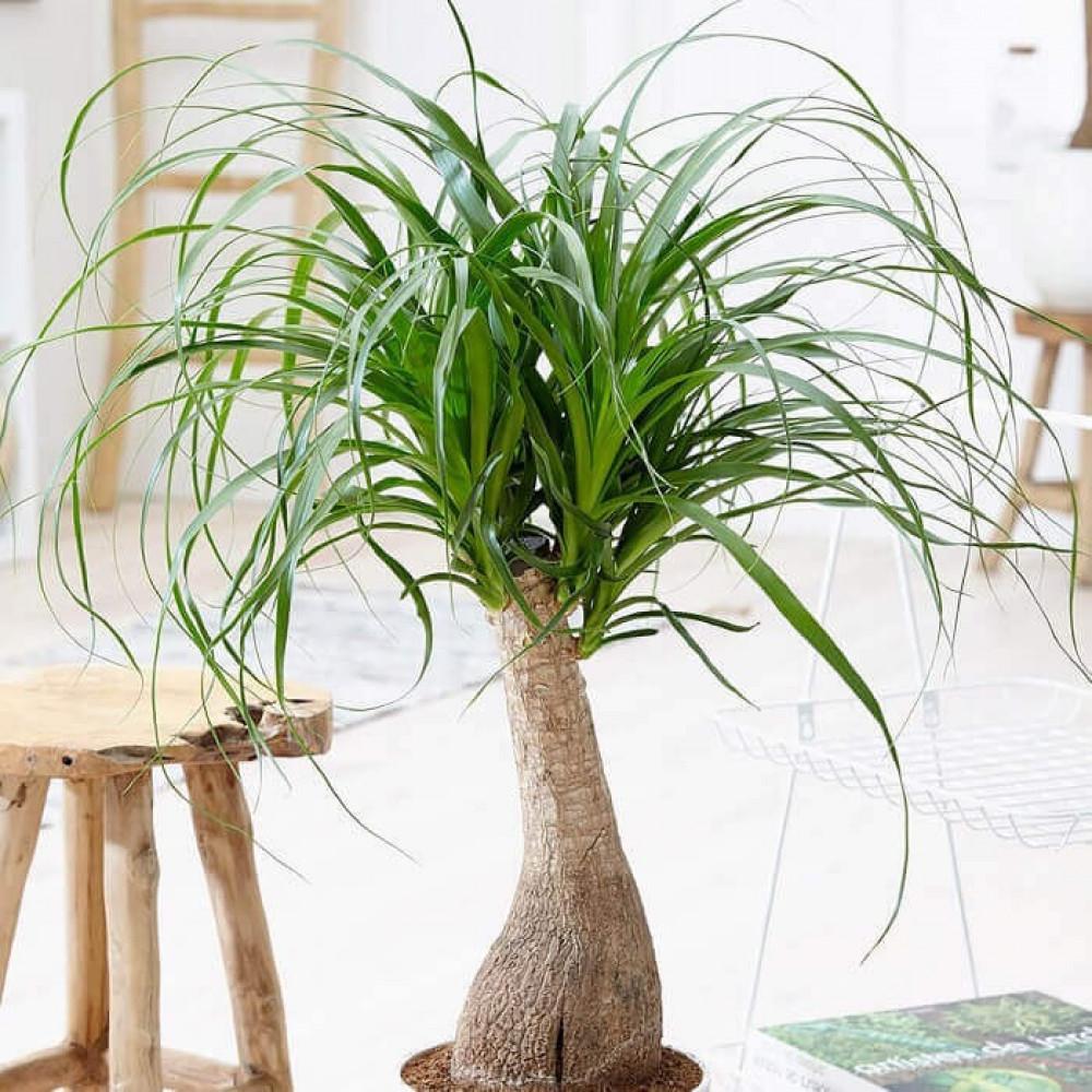نباتات داخليه نولينا  Nolina Plant