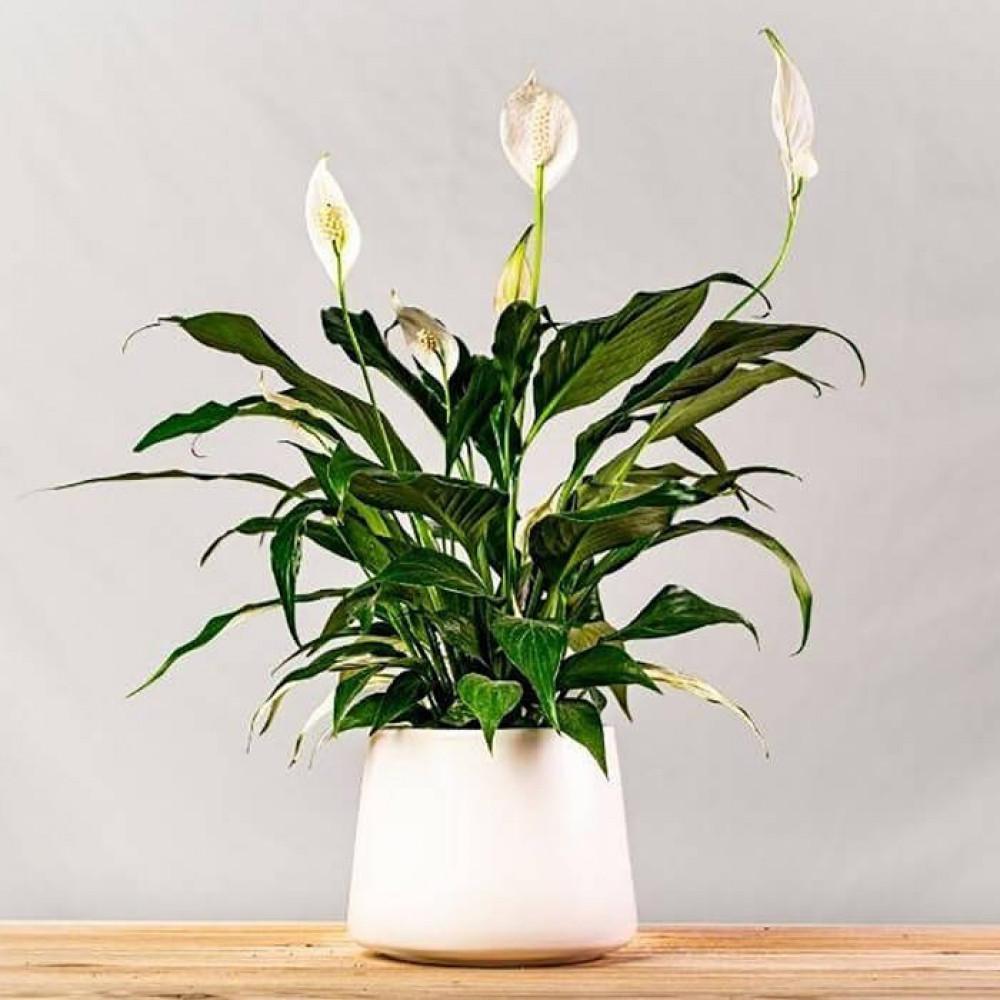 نباتات داخليه زنبقة السلام سباثيفيليوم  Spathiphyllum