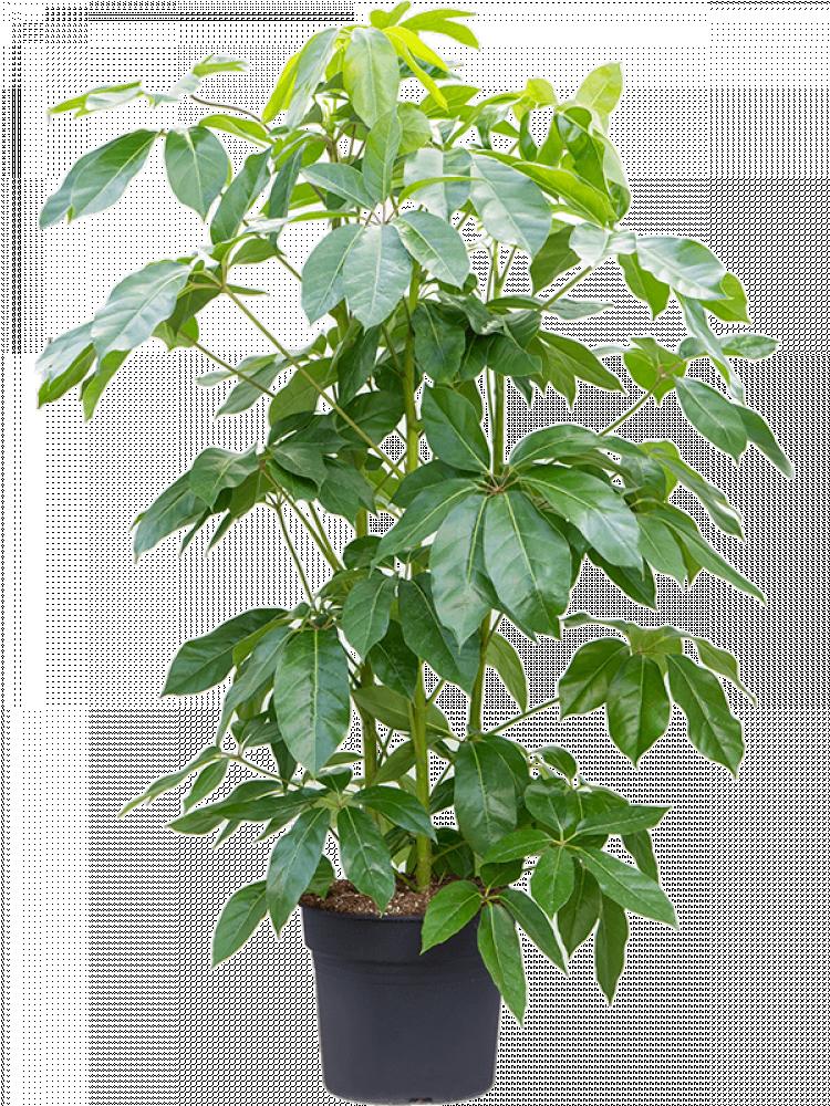 ashefflera actinophylla