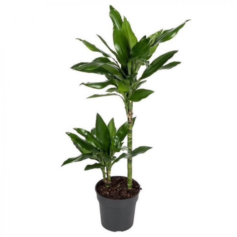 نباتات داخليه دراسينا جانيت ليند Dracaena Janet Lind