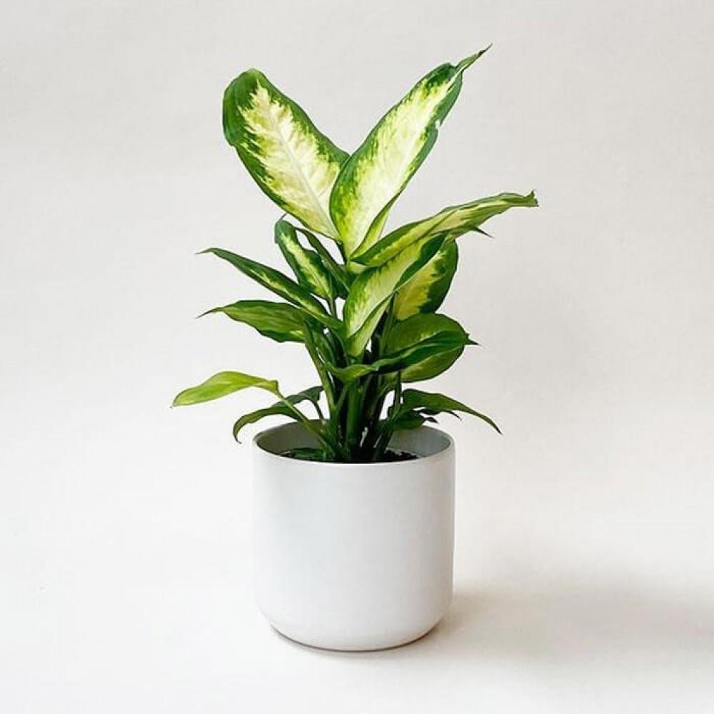 نباتات داخليه دفنباخيا كاميلا Diffenbachia Camilla