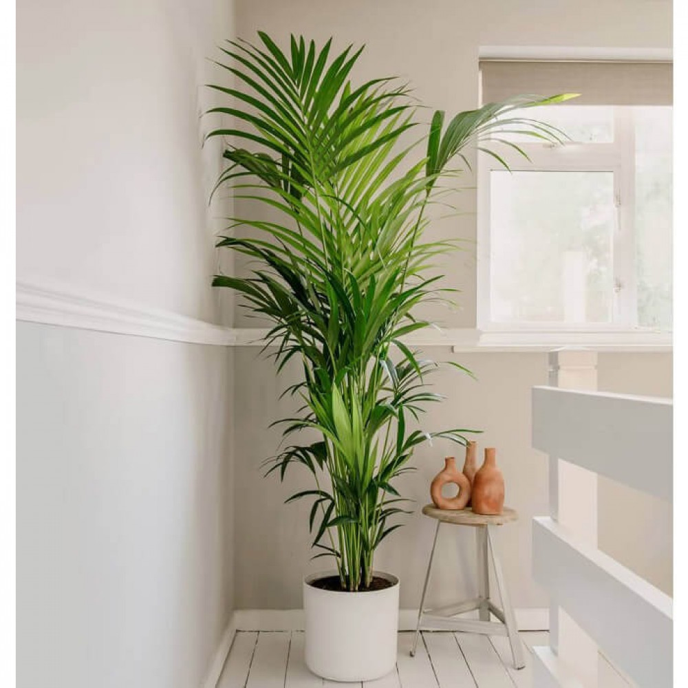 نباتات داخليه كنتيا Kentia Plant