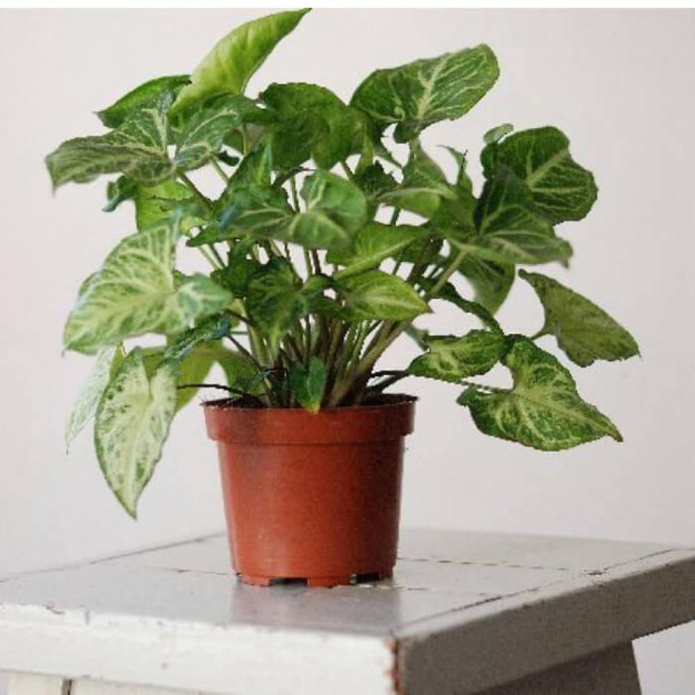نباتات داخليه سنجونيوم Syngonium